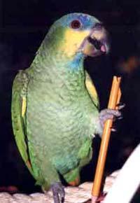 Coco, Amazon parrots