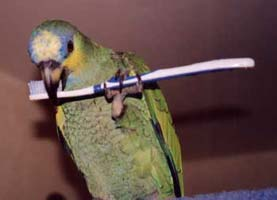 Coco, Amazon parrot brushing beak