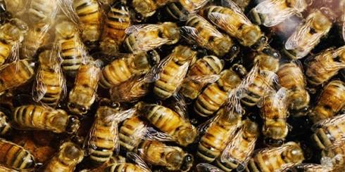 Killer Africanized Bees