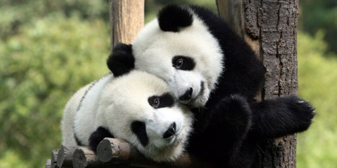 Two Panda Hug