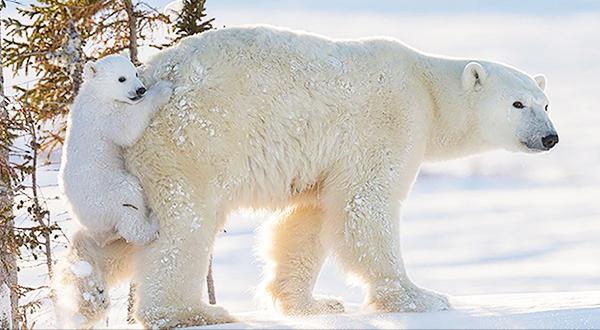Cute Polar Bear Cub on Mom's Bum
