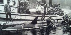 Killer Whales Capture