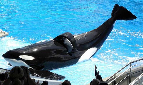 Killer Whale Shamu in captivity
