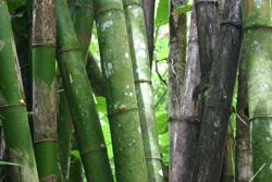 Tobago Bamboo