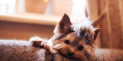 Pet Friendly Yorkshire Terrier Dog