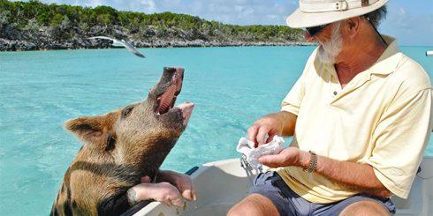 The Bahamas Pigs