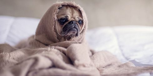 Pug in a Blanket - loves animals